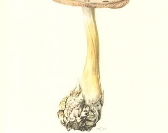 1962 Big Sheath Mushroom or Rose-gilled Grisette, Volvariella speciosa Vintage Offset Lithograph