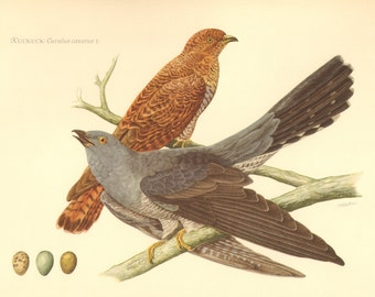 1953 Common Cuckoo or European Cuckoo - Cuculus canorus Vintage Offset Lithograph