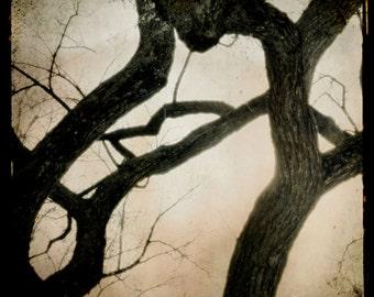Tree Photograph, Dark Brown Sepia Print, Twisting Tree Photograph, TTV Nature Print, Fairytale Art 8x8 and up