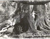 Worlds Largest Octopus Trees Redwood Park, CA RPPC Black and White Vintage Real Photograph Postcard