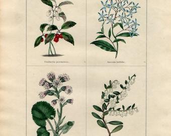 1836 Antique Botanical Print - Gaultheria, Amsonia, Tussilago, Andromeda, Benjamin Maund, Original Hand Colouring, Floral Wall Art