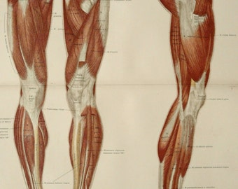 1890 Antique large lithograph of HUMAN MUSCLES: LEGS. Human Anatomy. Muscular System. 124 years old print.