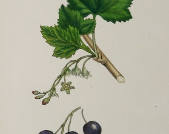 1873 Antique print of a BLACKCURRANT PLANT, leaves, flowers and fruits. Berries. Ribes nigrum. 143 years old botanical print