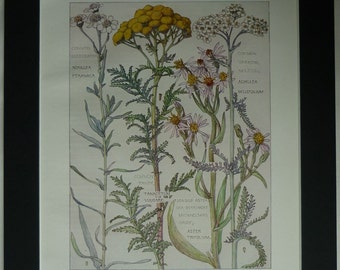 Vintage Botanical Print, British Wildflowers, H Isabel Adams Edwardian botany picture, Daisy family antique british wild flower Varities art