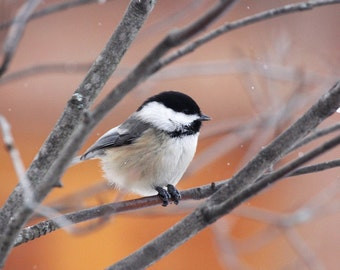 Chickadee photo print, cute bird picture, nature art photography, falling snow wall home decor, paper canvas 5x7 8x10 11x14 16x20 20x30 MF
