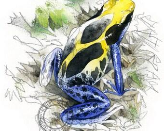 Poison dart frog watercolour - wildlife art - nature print of original artwork