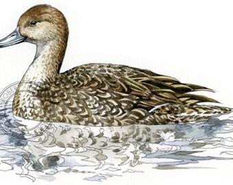 Northern Pintail (female) - bird art, wildlife art - nature print of original artwork