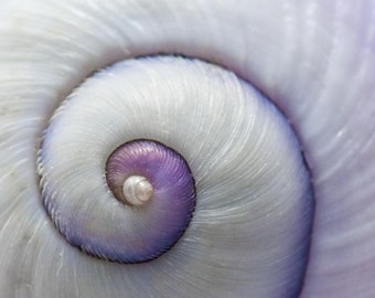 Purple Shell Spiral: 8x10 seashell fine art photography. Also comes in more sizes printed on pearl or metallic photo paper.
