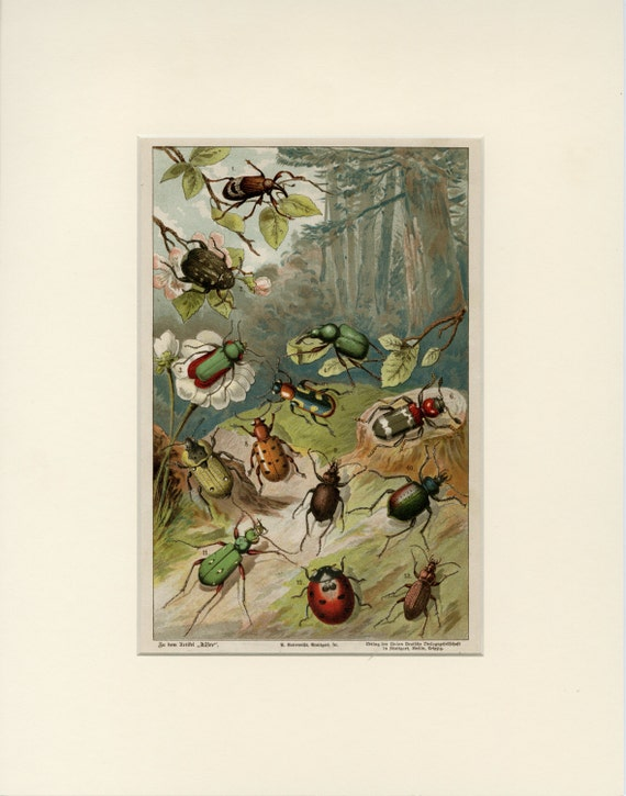 Matted Antique Beetle Print Ladybug Bugs Insects C 1892