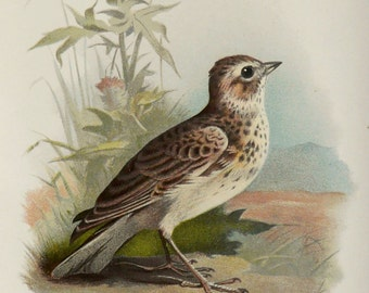1892 Antique lithograph of a SKYLARK BIRD. Skylarks. Songbirds. 122 years old nice print