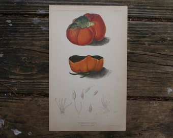 1888 - Rotten Tomato Antique Print - Vintage Bookplate from The 1888 Commissioner of Agriculture