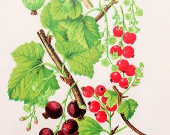 Anne Pratt Antique Botanical  Print -  Red Currant, Black Currant, Gooseberry (81)