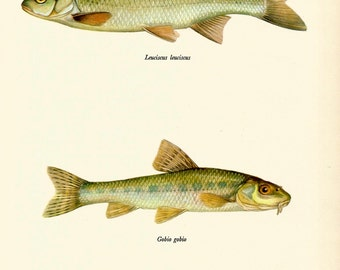 VINTAGE FISH Art PRINT The Dace and The Gudgeon Vintage 1972 Print Beautiful Home Decor Antique Gallery Wall Print (fwf 30)