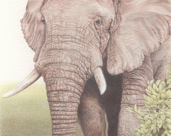 Bull Elephant Drawing - mounted print of original coloured pencil drawing