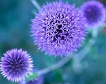 Blue Globe Thistle Seeds, Echinops Ritro, Perennial Flower, Purple - Blue Color,  Drought Tolerant