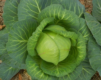 Late Flat Dutch Cabbage - 150 seeds (Organic/non-GMO)