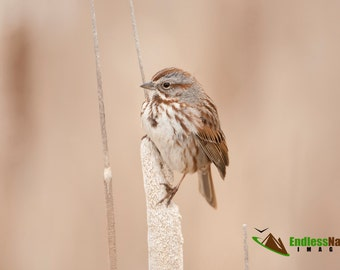 Song Sparrows, Birds, Songbirds, Bird, Sparrows, Sparrow Photography, Songbird Photographs, Song Sparrow Images, Sparrow Fine Art Prints.