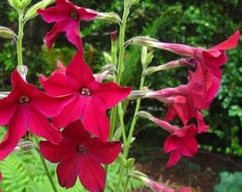 500 Seeds Crimson Bedder (Nicotiana Alata Crimson Bedder) Nicotiana Seeds
