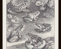 Frog Book Print (1930s): Black White Ink Drawing, Frameable Wall Art, 2-Sided, Vintage Illustration, Amphibians, Nature Home Decor, German