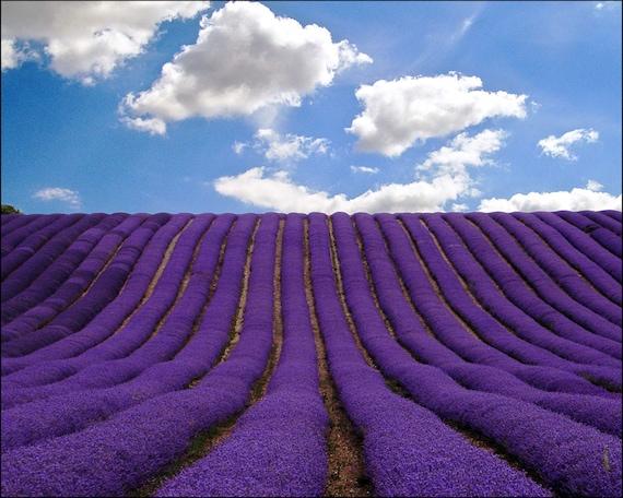 lavender field printable photo wallpaper wall mural wall murals printable pixersize com