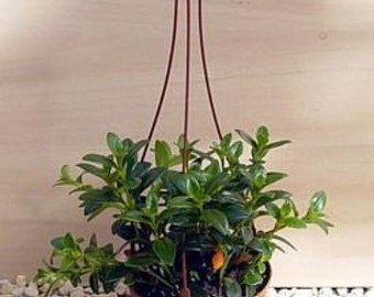"""Goldfish Plant - 4"""" Hanging Basket - Blooms Constantly (FREE SHIPPING)"""