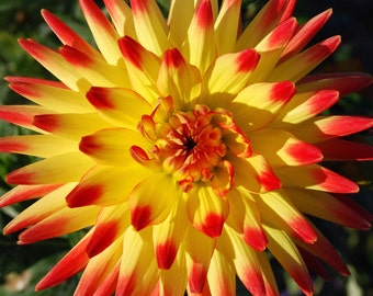 Dahlia, Red, Yellow, Flower, Close Up, Home Decor, Picture, 8x10, JC Rivers Collection, Print, Wall Art, Photography, Art, Dahlia Flower