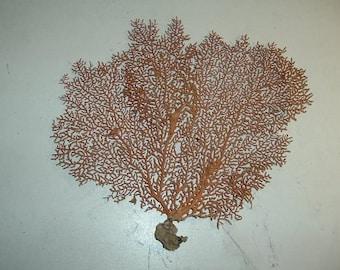 Sea Fan Natural Rust/Orange Color  (Ea).