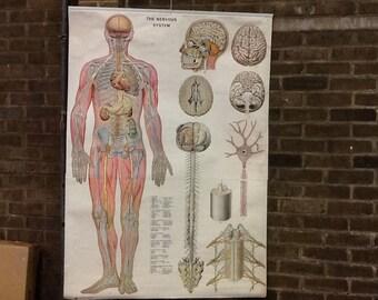 Vintage anatomical Science Poster 'The Nervous System'