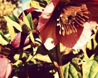 Original Fine Art Digital Photograph Giclee Print:  Rose of Lent
