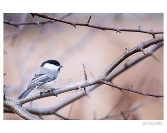 Nature Photography PRINT, Grey Chickadee, Wall Art