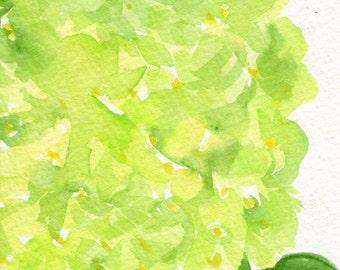 Hydrangeas watercolors paintings original, 4 x 6,  Lime Green flower art, hydrangea painting, original hydrangeas watercolors