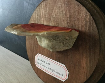 Seashell Conk: Mounted Papier-mâché Shelf Fungus