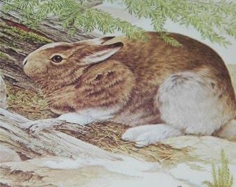 Hare Bunny Rabbit Print Severt Andrewson 11252 Scriptural