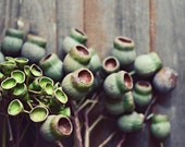 "Nature photography - seed pods photograph - nature botanical print - green brown wall art - old wood rustic plants  ""Eucalyptus Pods Three"""