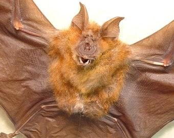 Real Taxidermy Bat Hipposideros larvatus Horsfield's Leaf-nosed Bat Shadowbox Frame B1319