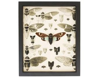 Real Framed Cicada Study Old Print Anatomy Taxidermy