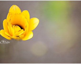 Spring Yellow Blossom Flower Fine Art Canvas wrap- macro 3