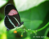 Butterfly Photo - Black And Pink Butterfly Photo - Nature Photography - Butterfly Greeting Card