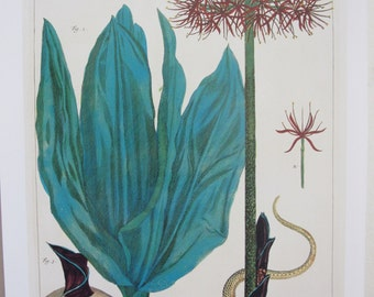Katherine Blood Lily/Tropical Butterflies and Plant, Albertus Seba, 8.5 x 13.5 in, Unframed Colorplate,2-Sided Book Page