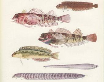 Sabretooth Blenny, Vintage Fish Print, 1950 Sealife, Margaret Smith Ichthyology 82, Fishing Decor, Hunting Decor, Cabin Decor, Gift for Him