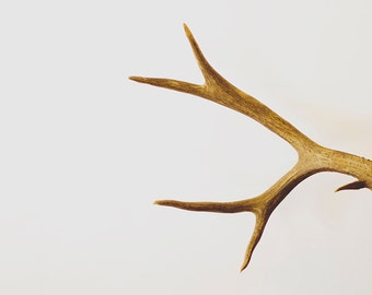 NATURALIST 01, deer antlers, brown, white, minimal, nature, photograph, home decor