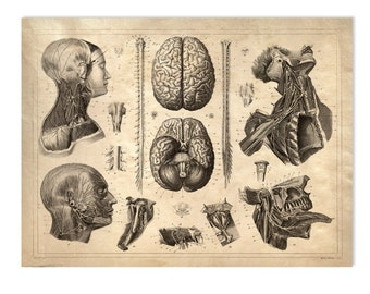 Brain Print Vintage Anatomy Reproduction Print Nervous System. Brains poster Human Body Biology Educational Diagram Chart - CP103
