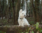 I am Crumpet 17 - Dog Photography - Westie - West Highland terrier - Wall Décor