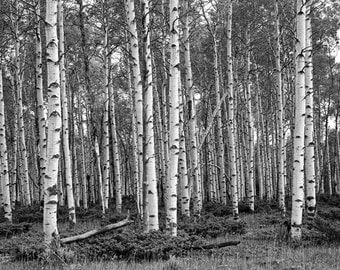 White Birch Tree Grove in Black and White No.FS0007 a Fine Art Aspen Birches Landscape Photograph