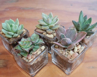 """10 DIY Rosette ONLY Succulents  in 2"""" containers with Beautiful square Glass Votives Complete Wedding Favor Kit succulents party gifts"""