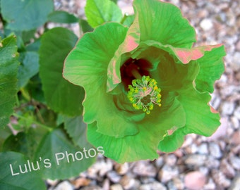 Green Hibiscus with Hints of Orange, Flower Photography, Prints and Cards