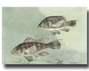 Fishing Wall Decor, 1930s Sea Bass Art (Vintage Fish Print, Gray Green, Gift for Fisherman) --- No. 85