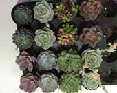 Succulent Plants - 30 Party Pack in pots.  For Terrariums, Wedding, Favors, Centerpieces, Boutonnieres and More