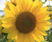 Sunflower Photography Twirled or Not Twirled 8x10 or 16x20 Professional Print Fine Art Photography Nature Print