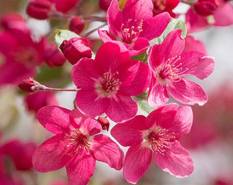 Pink flower photography, hot pink floral wall art, nature photography, magenta crabapple blossoms photo, fine art print